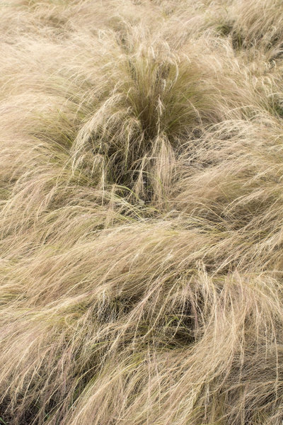 Ornamental grass texture