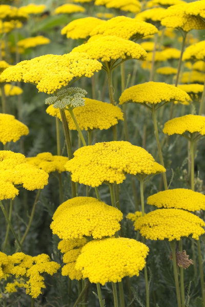 Yellow flowers: Yellow yarrow (Achillea) flowers growing in a garden in England.