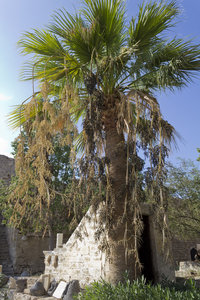 Palm tree: A palm tree in fruit in the square of an old fort in Cyprus.