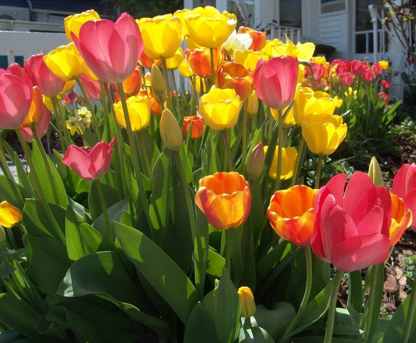 Tulips in their glory