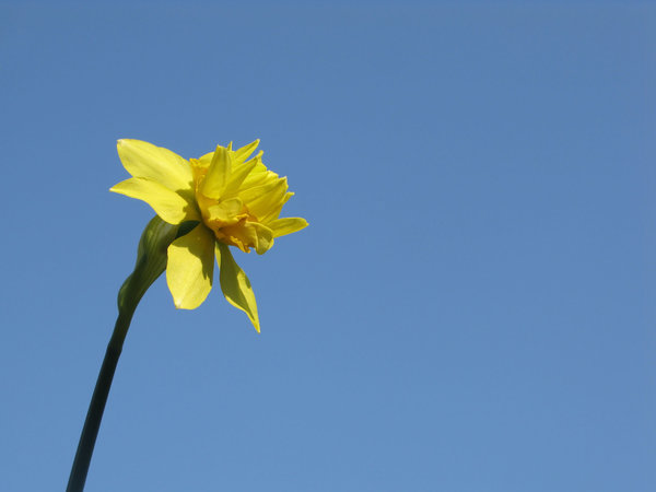 daffodil on blue: none