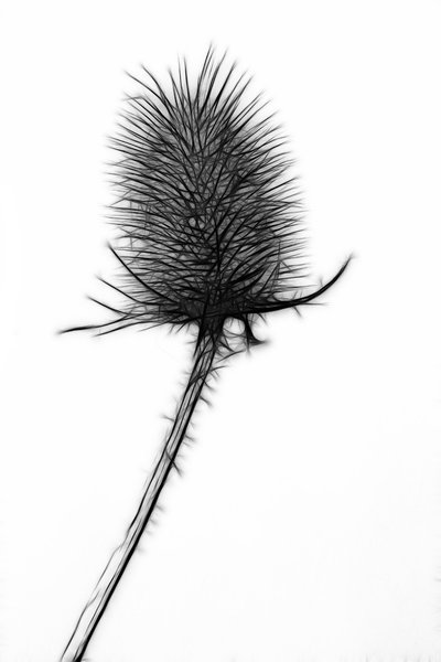 Teasel, fractal sketch: A single Teasel on a white background, fractal sketch