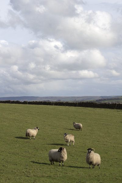 English sheep farm