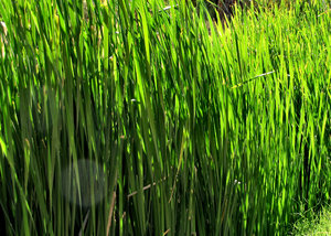riverside reeds1: sunlight shining through riverside reeds