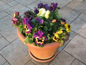 pansies time