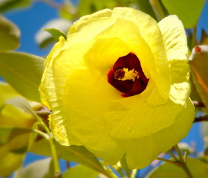 Yellow Cotton Tree Flower