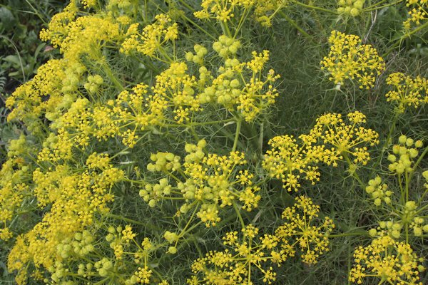 Yellow umbellifer flowers