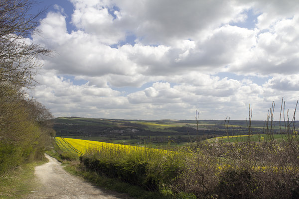 Oilseed landscape: An oilseed rape (Canola) crop on the South Downs, West Sussex, England, in spring.