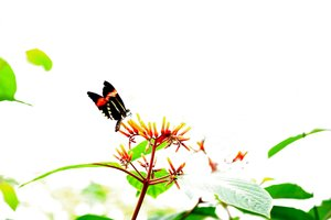 High key butterfly: Butterfly with flowers and backlit. The image is high key.
