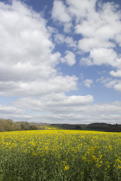 Yellow crop: An oilseed rape (Canola) crop on the South Downs, West Sussex, England, in spring.