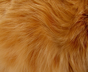 fine feline fur2: hair - fur of ginger tabby cat
