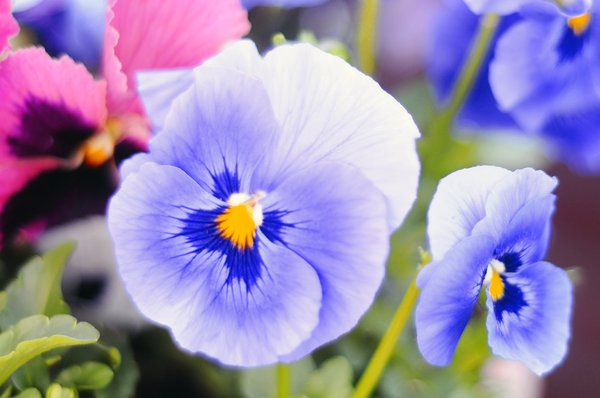 flowers: fresh spring flowers, Pansies