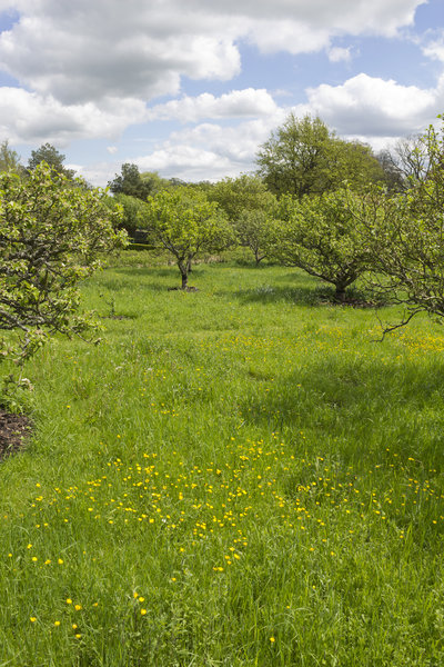 Apple orchard and buttercups