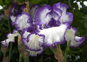 White and Purple Bearded Iris: This White Iris is tinted with a deep purple along the edges giving this bearded iris a striking pose.