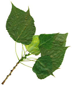 Leaves: A cluster of leaves.