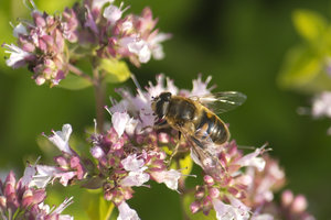 Hoverfly: A hoverfly on marjoram flowers in West Sussex, England.