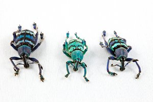 Eupholus Beetle Trio: Close-up of 3 eupholus beetles isolated on a white background.