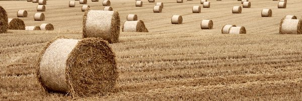 Stubble field and straw bales: Field of wheat after harvesting.