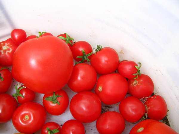 tomato bucket (5): various ripe tomatoes collected in a bucket
