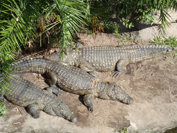 Crocodiles warming in the sun