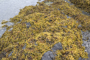 Seaweed: Bladderwrack seaweed on the west coast of Vancouver Island, Canada.