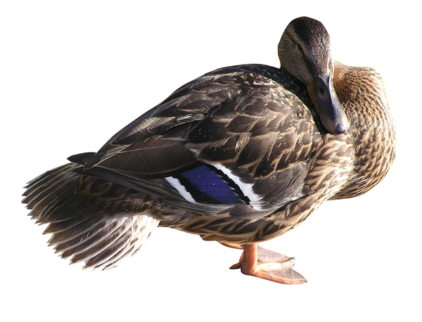 Female duck: A mallard-duck. Female. Resting (sleeping).
