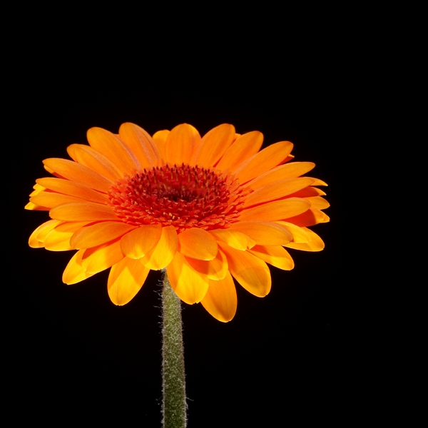 Single orange Aster: Single orange flower (Aster). Light from both top and buttom. Isolated with black background.
