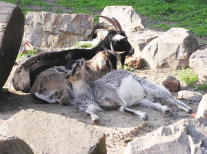 Goats: Just some goats in the zoo.