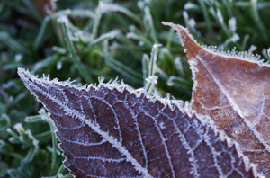 Frosty leaves 2