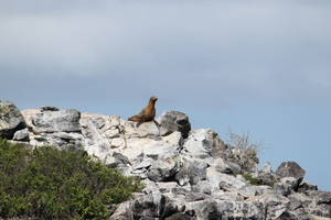 Sea lioness: On the top of the rocks