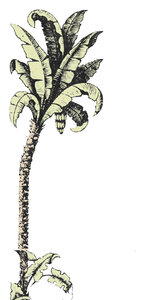 19thC Palm Tree: I had to work on this a lot to get it to the state you see it. Used for a graphic for Florida Tourism. Copy for your use