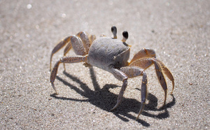 The Common Sand Crab