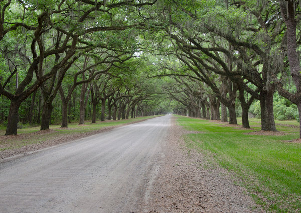 Plantation Avenue: A typical plantation drive in the American South. All drives were planted with live oaks either side, to form a canopy