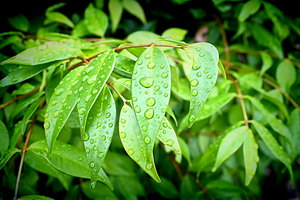 Leaves With Raindrops