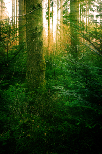 Sunlight in deep green Forest: The Sun shining through  the Pine- Forest, the Ground is covered with deep green young Trees and Moss