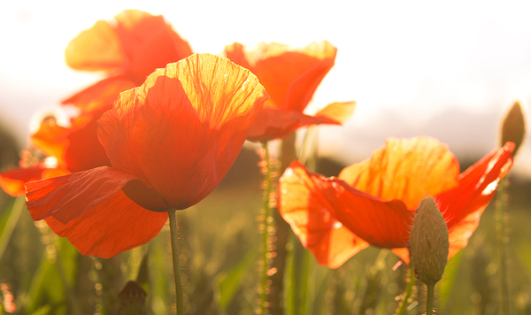 Poppies in bright Sunlight
