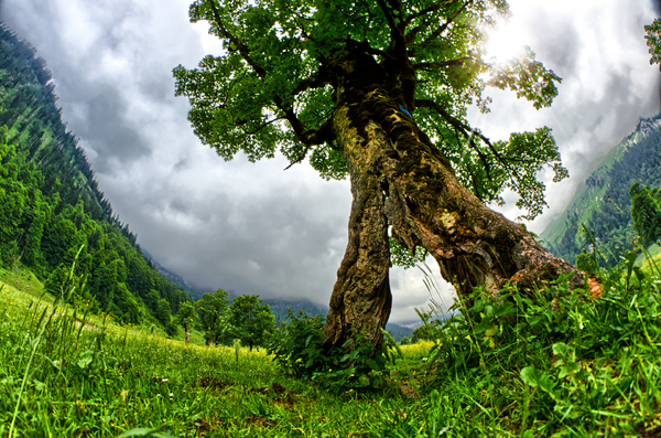 Old Maple Tree: A 500 Years old Maple Tree (Acer pseudoplatanus) in the Great Maple Plains in the Alps