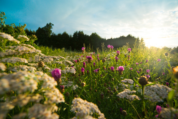 Flower Field at Sunset: