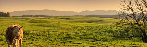 Meadows and Mountain Panorama : View over saturated green Meadows to the Mountains, Bull in Foreground, Sunset