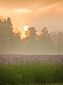 Scorpionweed Field at Sunset,