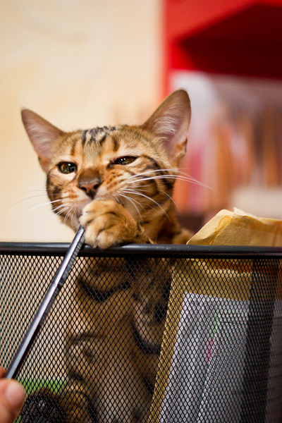 Bengal Cat plying in Recycle B