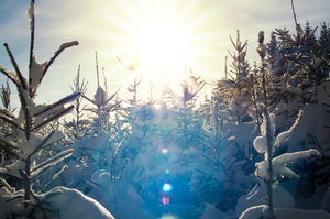 Sunburst in snowy Spruce Fores