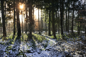 Morning Sun in snowy Forest: Sunlight shining through Trees on a cold Winter Morning