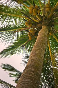Coconut Tree looking up: Coconut Tree looking up