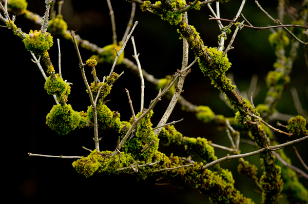 Moss on Branches of a Bush: Green Moss on Branches of a Sambucus nigra