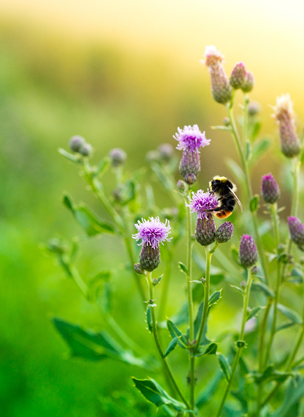 Bumblebee on Thistle Flowers