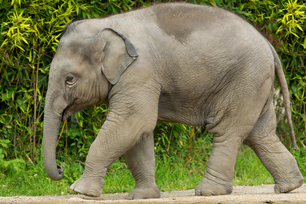 Baby Elephant walking: One year old Elephant - Ludwig - walking