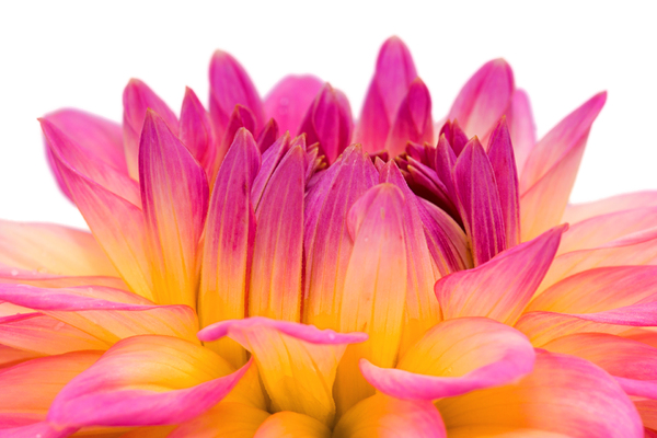 Dahlia Flower Close Up: Close Up of a Yellow and Pink colored Dahlia, white Background