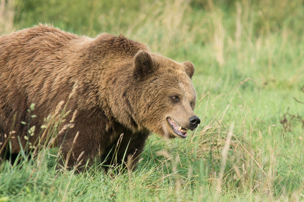 Brown Bear looking attentive