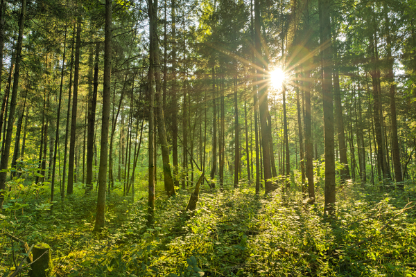 Fairytale Forest - Sunburst: Sunburst in natural Spruce Forest - Fairytale Mood